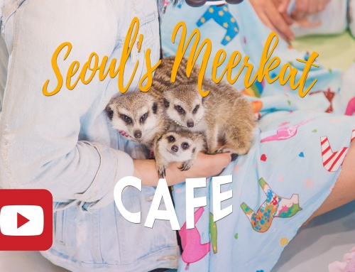 Only in Korea – Seoul's Meerkat Cafe